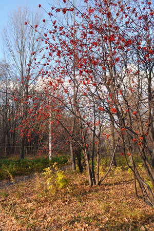 Urban park with rowan trees with bright red berries in autumn 版權商用圖片