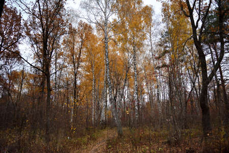 Autumn deciduous forest. Birch and oak trees in fall season. Picturesque scene