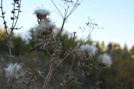 Dry thistle flowers on blurred background in autumn
