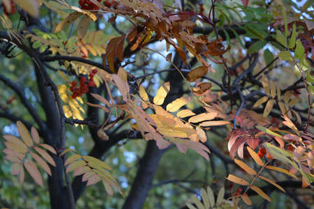 Colorful leaves and berries of rowan tree. Autumn day
