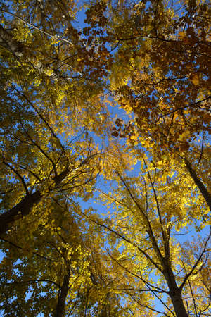 Autumn trees. View from below on branches with golden leaves in fall season. 版權商用圖片