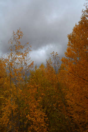 Autumn landscape. Trees with orange foliage against cloudy gray sky.