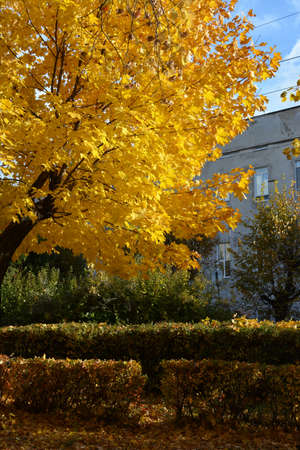Maple tree with golden foliage in city park in autumn