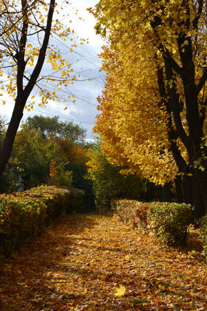 Autumn in city park. Alley with fallen leaves, shrubs and maple trees.