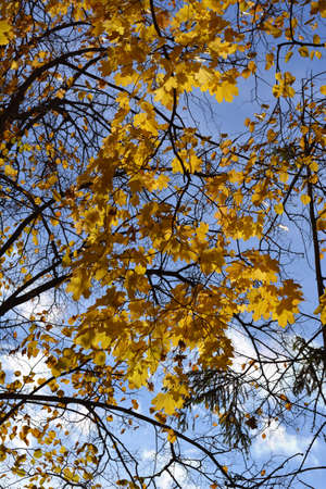 Autumn in the park. Golden maple leaves on the background of linden tree. 版權商用圖片