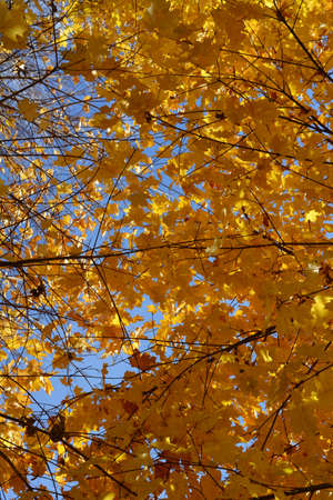 Golden foliage of maple trees on the background of blue sky in fall season. Autumn in the park. 版權商用圖片