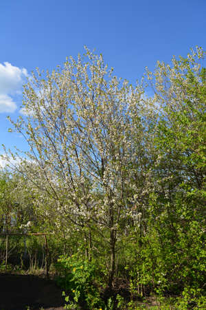Spring garden landscape with cherry trees in bloom. Zdjęcie Seryjne