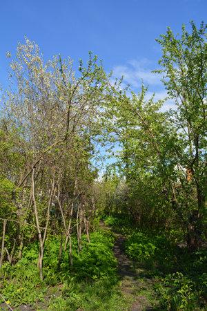 Path through spring garden with cherry and apple trees. Zdjęcie Seryjne