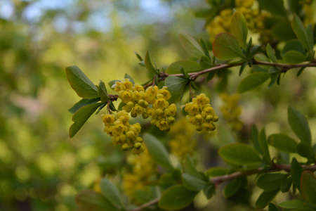 Branch with yellow flowers of barberry on blurred background.