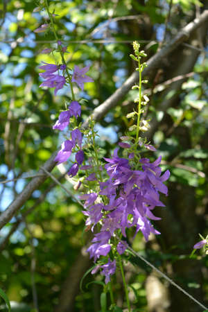 Bellflower with many small violet flowers. Summer garden