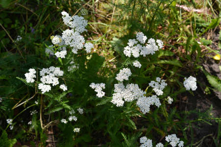White flowers of yarrow on summer meadow. Top view