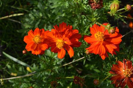 Cosmos sulphureus. Top view on bright orange flowers in sunny day