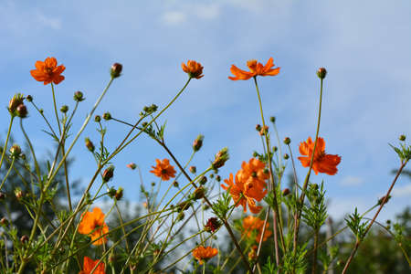 Vibrant orange flowers of cosmos sulfur on the background of sky