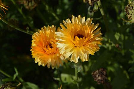 Top view on gold flowers of Calendula officinalis Zdjęcie Seryjne