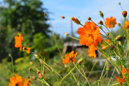 Orange semi-double flowers of Cosmos sulphureus. Beautiful garden in summer