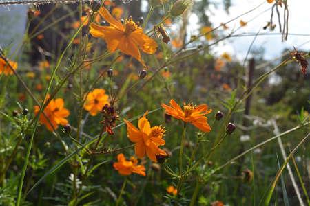 Cosmos flowers with orange petals in rural garden