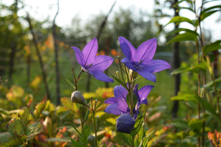 Beautiful purple flowers of platycodon grandiflorus in autumn garden Zdjęcie Seryjne