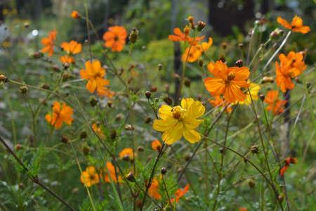 Beautiful yellow and orange semi-double flowers of Cosmos sulphureus.
