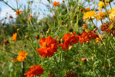 Bright sulfur cosmos flowers with petals in shades of orange and scarlet red.
