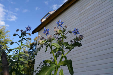 Borago officinalis. Blue flowers in the garden on the background of house.