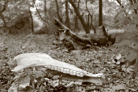 Animal skull in forest photo
