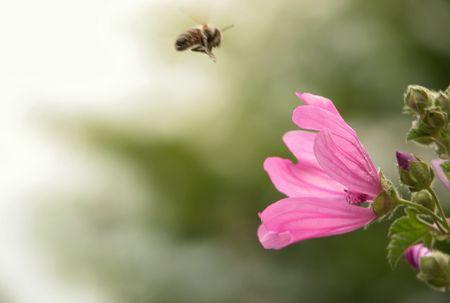 Bee collecting honey photo