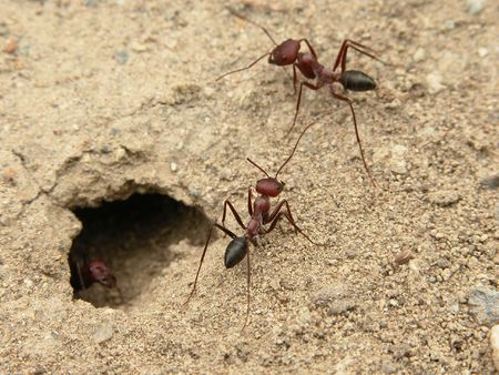 arthropod: A couple of ants Stock Photo