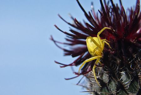 pinchers: Yellow spider on a black plant Stock Photo
