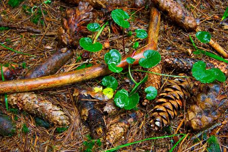 Pine cones on the forest floor photo