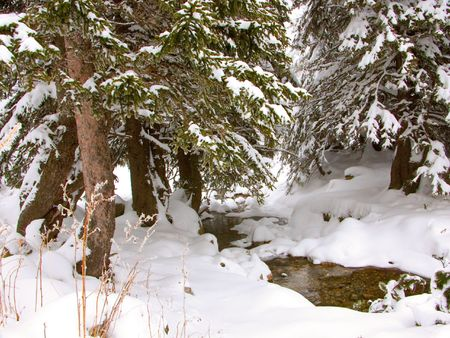 A brook and pine trees in winter photo