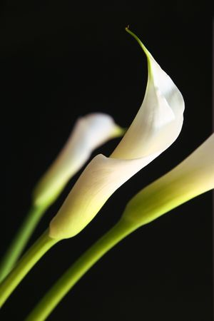 Calla lilies in love against black background