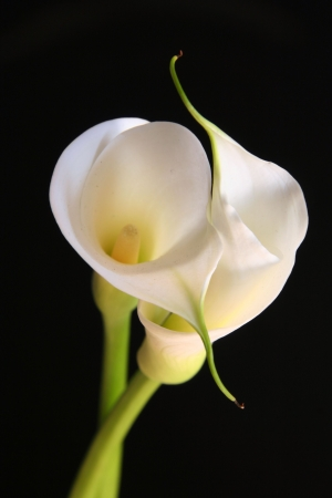 Two calla lillies against black background