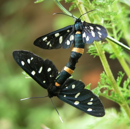 mating: Mating of butterflies outside