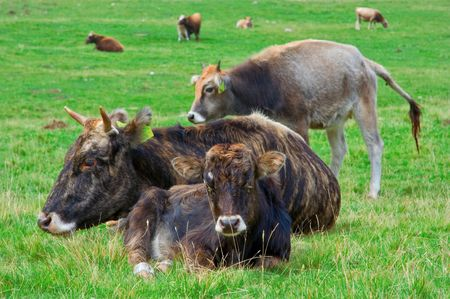 Cattle resting in the field photo