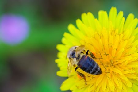 Bee collecting honey from a dandelion flower photo
