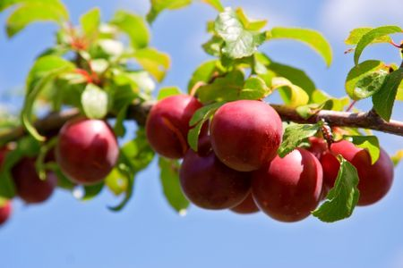 edibles: Susino