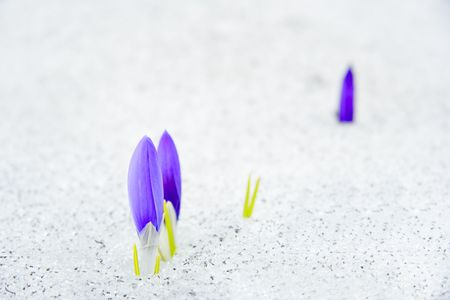 Crocus flowers emerging from snow Stock Photo - 478021