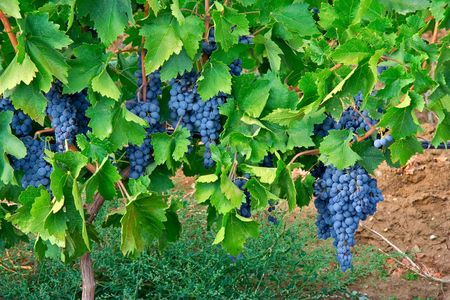 rich flavor: Cluster of grapes in a vineyard Stock Photo