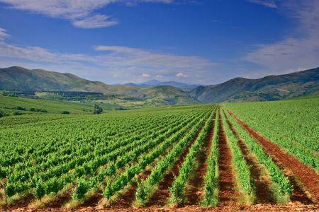 agronomy: Vineyard field in Macedonia