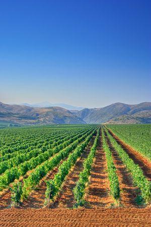 Vineyard field in Macedonia photo
