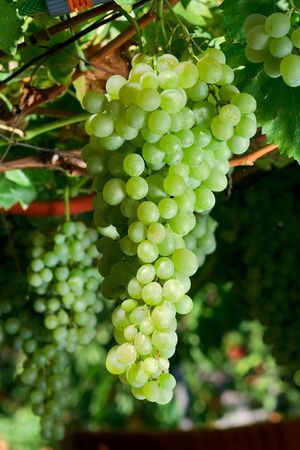 rich flavor: Cluster of white grapes