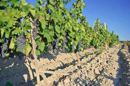 Wine orchard photo