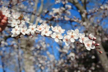 Spring is here (blossom on a plum tree) photo