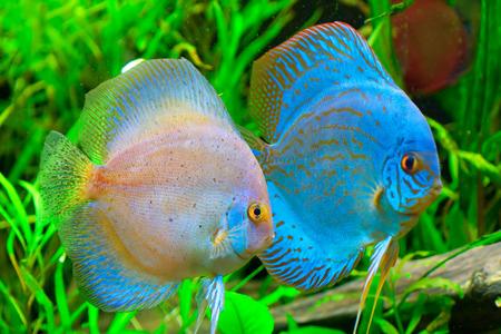 Discus fish - Symphysodon aequifasciatus Stock Photo - 1573599