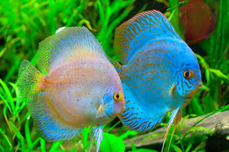 pez disco: Pescados del disco - aequifasciatus de Symphysodon