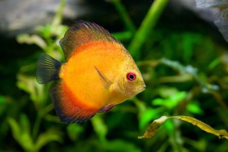 aequifasciatus: Discus fish - Symphysodon aequifasciatus in aquarium Stock Photo