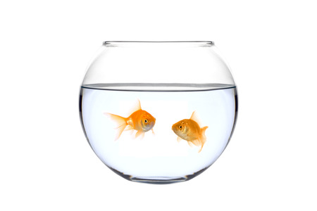 Two golden fish in a bowl against white background photo