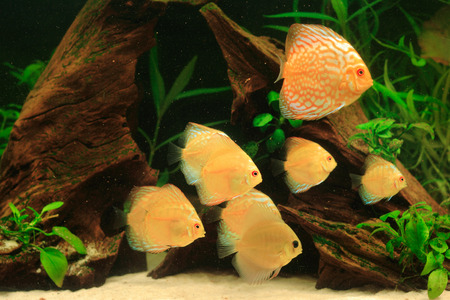 discus: Discus fish - Symphysodon aequifasciatus in aquarium Stock Photo