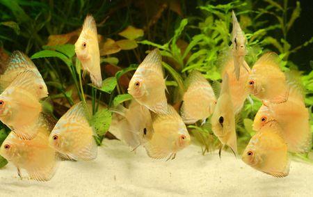 pez disco: Discusi�n de pescado - Symphysodon aequifasciatus en acuario  Foto de archivo