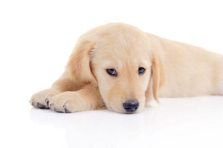 Golden retriever puppy Stock Photo - 1767912